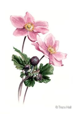 japanese anemone watercolour flower painting by tracy hall Japanese Watercolor, Watercolor Drawing, Watercolor Plants, Watercolor Flowers, Watercolor Paintings, Botanical Drawings, Botanical Illustration, Watercolor Illustration, Botanical Flowers