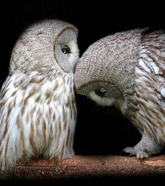 #Owls# Ut oh! He is giving her the head butt. I wonder if he is trying to say that he loves her?