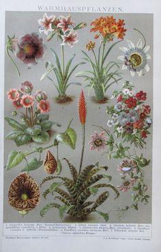WARMHAUSPFLANZEN 1895 Original Antiker Farbdruck Antique Print Lithographie