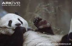Image result for the giant panda close-ups feet
