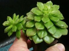 Sedeveria Letizia Hybrid of Sedum and Echeveria. Lime green with red tips, white flowers in winter. Well draining soil, regular water in hotter months. Home Depot, 11/16