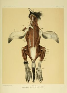 scientificillustration:    Muscles of Eudyptes chrysocome - the Southern Rockhopper Penguin  Anatomy of Penguins Plat VIII