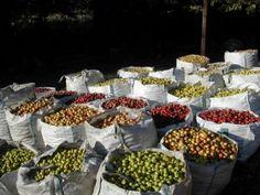 Diversité des pommes pour Le cidre