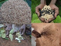 Medicinal Rice Formulations for Pancreas Revitalization and Cancer and Diabetes Complications (TH Group-123 special) from Pankaj Oudhia's Medicinal Plant Database