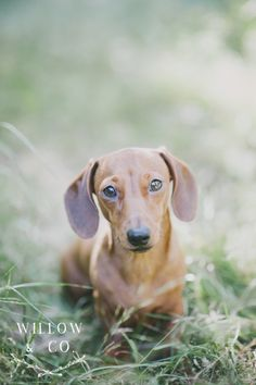 Teddy the Miniature Dachshund. Image by Willow & Co. http://willowand.co #dog #pet #photography