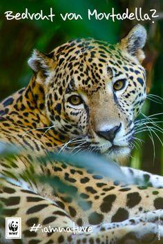 Gemeinsam wollen wir Jaguare und Regenwald retten! Genau darum müssen wir über das Thema #Fleisch sprechen. Das zeigt euch unsere Kollegin Tanja an einem einfachen Rechenbeispiel: www.wwf.de/blog/wurst-und-jaguar #iamnature