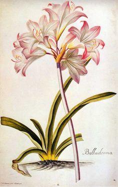 Amaryllis or Belladonna lily. Hand-colored engraving after Ehret , 1750.