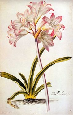 Amaryllis or Belladonna lily. Hand-colored engraving after Ehret , 1750.