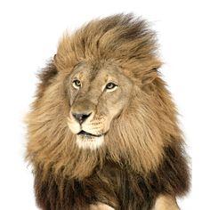 lion_1528772i.jpg (620×620)