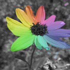 Rainbow Black Eyed Susan  Color Pop  Lustre by PrintsbyLuciaJade