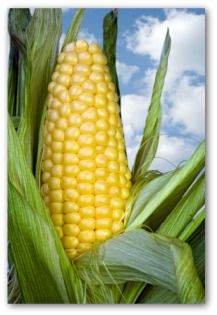 Planting and Growing Sweet Corn - #vegetable #backyard #outdoor #gardening #corn #tips