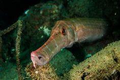 Trumpetfish in Ambon, Maluku, Indonesia underwater photo