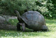 Aldabra giant tortoise - photo from shutterstock,via live science;  These giant tortoises live on the Seychelles Islands.