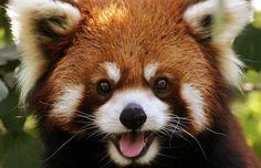 red panda - Google Search