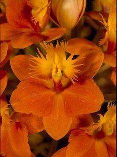 Reedstem Epidendrum