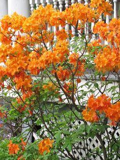 Mandarin lights azalea has deep orange flowers that are rare in deciduous azaleas small bush perennial flowers mightylinksfo