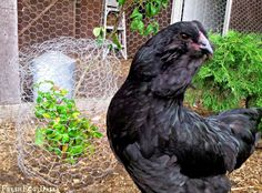 Reduce chicken feed costs using kitchen scraps, a compost pile, landscaping grazing, fish scraps and more!
