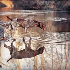 German Shorthaired Pointer : Instagram of the day #GermanShorthairedPointer