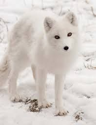 Image result for snowy hills arctic fox
