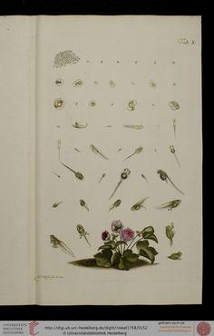 Historia Naturalis Ranarum Nostratium, August Johann Rosel von Rosenhof, 1758.