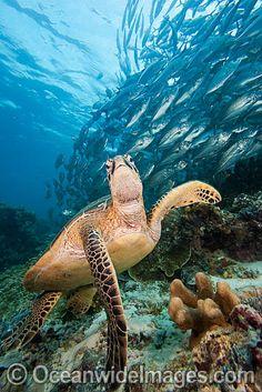 Green Sea Turtle and Jacks