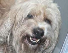 *SANTA - ID#A754331  Shelter staff named me SANTA.  I am a neutered male, cream and white Soft-Coated Wheaten Terrier mix.  The shelter staf...