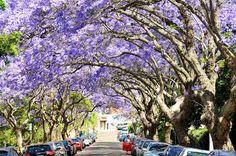 This Jacaranda street in Sydney is SO BEAUTIFUL!