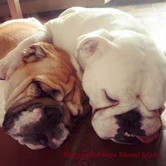Bulldog Snuggles