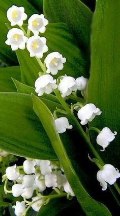 Lily of the Valley. Wonderful scent and so pretty, but invasive. My Flower, White Flowers, Flower Power, Beautiful Flowers, Birth Flower, Lily Of The Valley Flowers, Ikebana, Spring Flowers, Planting Flowers