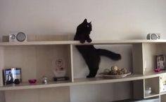 Daily mignon: Mission Impossible Kitty   Felicia le chat de minou est déterminé à récupérer son jouet de tout en haut. C'est une mission qui semble impossible, mais elle n'est pas du genre à renoncer. Qui aurait cru que toute cette expérience sieste au-dessus des rideaux serait utile?