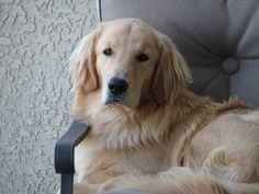 Golden Retrievers all have such a wise and knowing look. Very loving and kind wisdom.