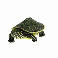 Care Guide for Baby Yellow-Bellied Turtles