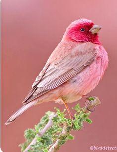 - Birds - Have you ever seen a pink bird? 😍❤️A beautiful pink colour! Have you ever seen a pink bird? 😍❤️A beautiful pink colour! Rosefinch photo by Cute Birds, Pretty Birds, Exotic Birds, Colorful Birds, Colorful Animals, Tropical Birds, Exotic Pets, Most Beautiful Animals, Beautiful Flowers Pics