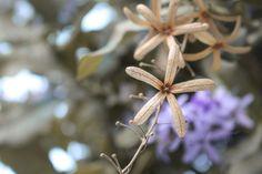 Inthanin Australia Flowers @ Chiang Mai, Thailand #fotobylinhping