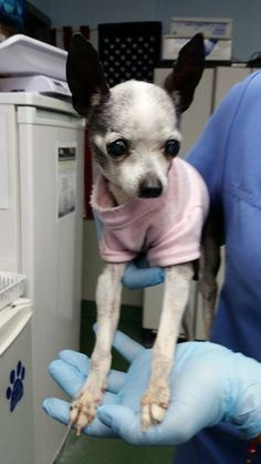 Urgent Dogs of Miami t ·     sweet old girl. Geriatric Chihuahua, 1676964, needs rescue ASAP for end-of-life care A1676964 https://www.facebook.com/urgentdogsofmiami/photos/pb.191859757515102.-2207520000.1422916306./921731691194568/?type=3&theater