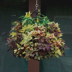 Check out these photos of Pamela Crawford's beautiful hanging baskets. Dwarf Japanese Maple, Growing Gardens, Summer Garden, Hanging Baskets, Container Gardening, Plants, Landscaping, Photos, Fall Hanging Baskets