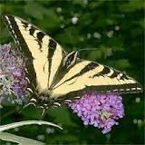 http://www.gardenswithwings.com/butterfly/Western%20Tiger%20Swallowtail/index.html