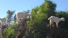 Travelers journeying in Morocco will most likely come across the peculiar and intriguing sight of goats balancing in trees along the road. They will be tempted to stop, stare, and take pictures of the improbable scene, without realizing that the delightful spectacle conceals a darker side.