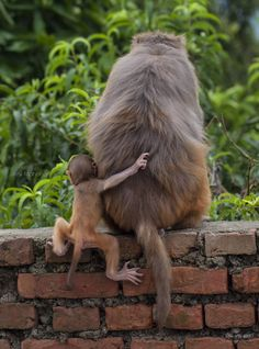 A baby monkey struggles to hold on to her mother on a narrow wall, by Anil Maharjan