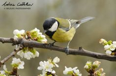 Cinciallegra (Great Tit) by Andrea Castellani on 500px