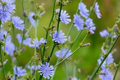 Chicory in Your Salad or Coffee Is Great for Digestion Blue Flowers, Flora, Herbs, Garden, Cos, Coffee, Diet, Kaffee, Garten