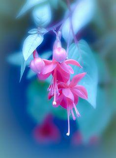 ~~Hummingbird Heaven   Pink Fuchsia   by Brian Keyes~~