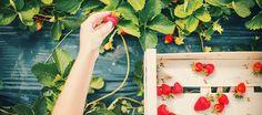 7 benefícios incríveis do morango para saúde e beleza
