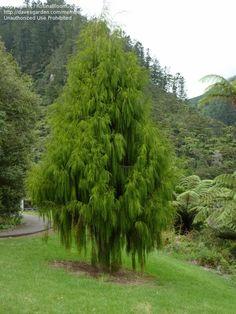 Voorstel: Rimu (Dacrydium cupressinum) word afsluitende boom promenade