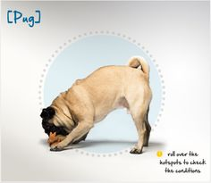 Did you know that Pugs originated in China around 400 B.C. as pets of Buddhist monasteries in Tibet? Read more about this breed by visiting Petplan pet insurance's Condition Checker!