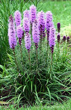 Need these! dense blazing star perennial. easy to care for and bees and butterflies love them.