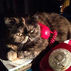 #lulu #gato #lajefa al #telefono #rojo #cat #phone  #red #cats #catsofinstagram #tortiecat #exoticcat #exoticshorthair #cute #instakotik #instagramers #tagsforlike #love