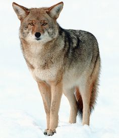 Coywolf — a hybrid of the coyote and the wolf that is also known as the Eastern coyote. These animals have a completely new genetic make up: Their genes are about 1/4 wolf DNA and 2/3 coyote DNA, the rest is from domesticated dogs. They were created when previously separate wolf and coyote populations merged in the land north of the Great Lakes.