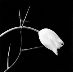 Robert Mapplethorpe - Mapplethorpe's flower photos are often simplistic and surreal images of nature's beauty underscored with dark backgrounds and with references to human anatomy. Very reminiscent of O'Keeffe's best floral paintings. Black And White Flowers, Black N White, Black White Photos, Black And White Photography, White Tulips, Robert Mapplethorpe, Cindy Sherman, Diane Arbus, Steven Meisel