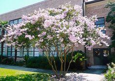 Arbusto, pertence à família Lythraceae, nativa da China, Coréia, Japão e Índia, perene, tronco de casca lisa, marrom ou cinza claro, dificilmente chega...